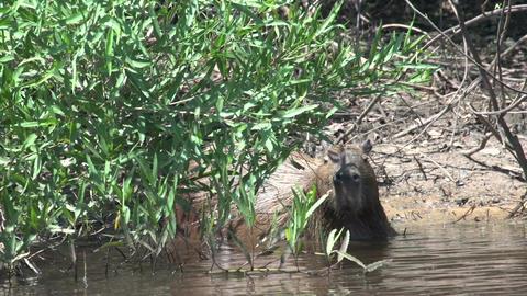 006 Pantanal , Capybara ( Hydrochoerus hydrochaeri Stock Video Footage