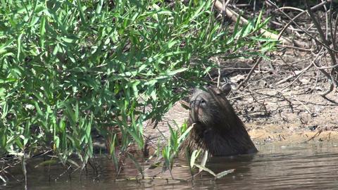 006 Pantanal , Capybara ( Hydrochoerus hydrochaeri Footage