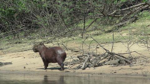 012 Pantanal , Capybara ( Hydrochoerus hydrochaeri Stock Video Footage