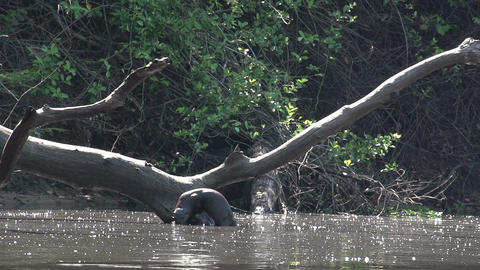 015 Pantanal , Giant otter ( Pteronura brasiliensi Stock Video Footage