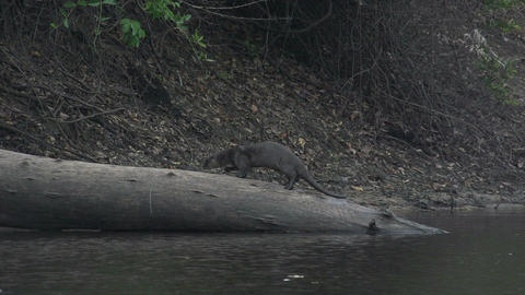 016 Pantanal , Giant otter ( Pteronura brasiliensi Stock Video Footage