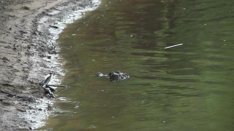 017 Pantanal , Yacare caiman on the shore Footage