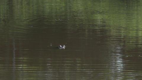 022 Pantanal , Yacare caiman in water Footage