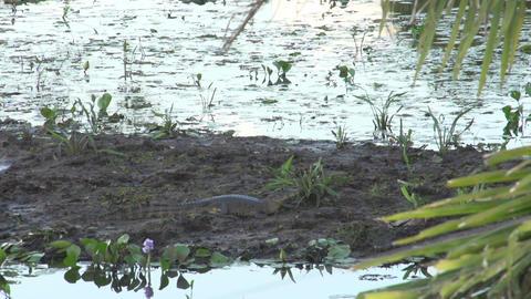 024 Pantanal , Yacare caiman on a sandbank relaxin Footage