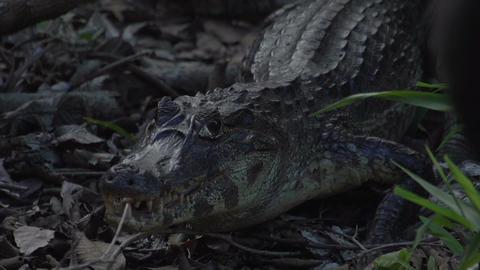 027 Pantanal , Yacare caiman , close up on the gro Footage