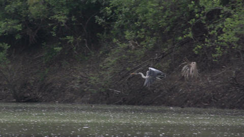 038 Pantanal , boating on the river , Cocoi Heron Stock Video Footage