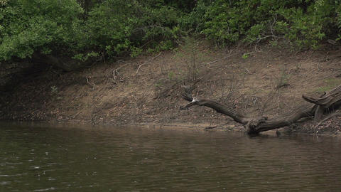 041 Pantanal , boating on the river , Anhinga on t Footage