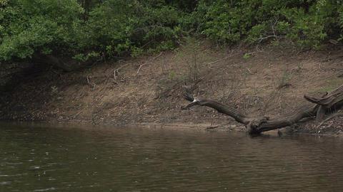 041 Pantanal , boating on the river , Anhinga on t Footage