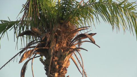 058 Pantanal , sunrise , bird flies in palmtree ne Footage