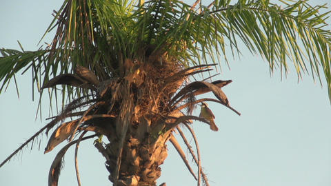 059 Pantanal , sunrise , bird flies in palmtree ne Footage