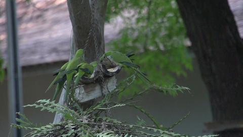 082 Pantanal , dwarf parrots eating , slowmotion Footage