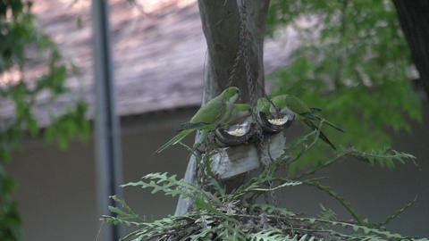 083 Pantanal , dwarf parrots eating , slowmotion Footage