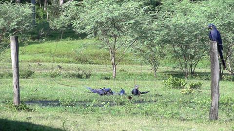 090 Pantanal , Hyacinth Macaw ( Anodorhynchus hyac Stock Video Footage
