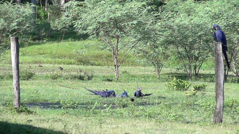 090 Pantanal , Hyacinth Macaw ( Anodorhynchus hyac Footage