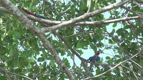 094 Pantanal , Scarlet Macaws ( Ara macao ) in tre Footage