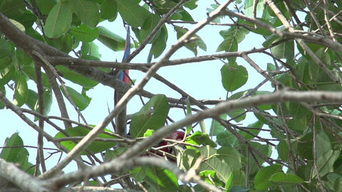 096 Pantanal , Scarlet Macaws ( Ara macao ) in tre Stock Video Footage
