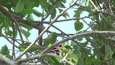 096 Pantanal , Scarlet Macaws ( Ara macao ) in tre Footage