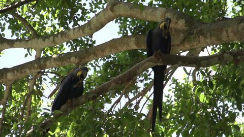 097 Pantanal , Hyacinth Macaws ( Anodorhynchus hya Footage