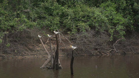 0101 Pantanal , boating on the river , birds on tr Footage