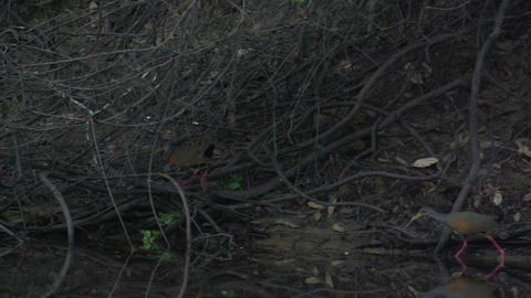 0102 Pantanal , Bare faced curassow family walks o Stock Video Footage