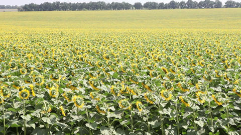 field with sunflowers Stock Video Footage