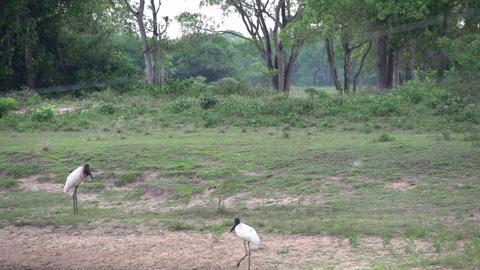 0120 Pantanal , Jabiru ( Jabiru Mycteria ) in land Footage