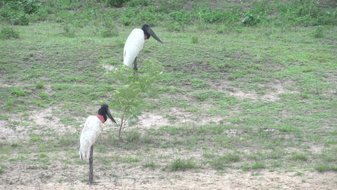 0123 Pantanal , Jabiru ( Jabiru Mycteria ) in land Stock Video Footage