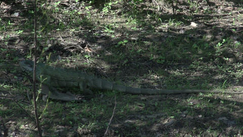 0127 Pantanal , Iguana walks on the shore in slowm Footage