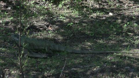 0127 Pantanal , Iguana walks on the shore in slowm Footage