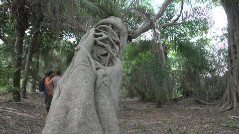 0132 Pantanal , inside a strange tree , guide tell Footage