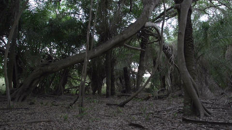 0134 Pantanal , inside a strange tree , tilt up Stock Video Footage