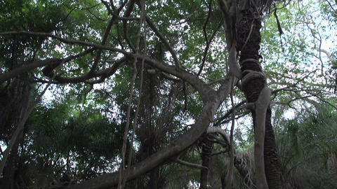 0134 Pantanal , inside a strange tree , tilt up Footage