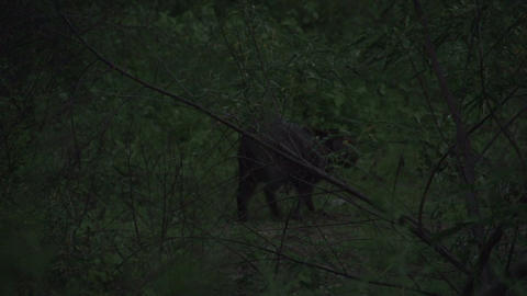 0140 Pantanal , Capybara ( Hydrochoerus hydrochaer Footage