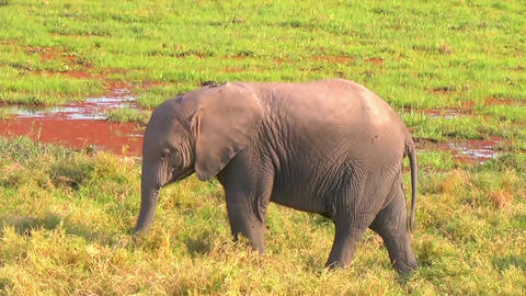 Elephant Calf Footage