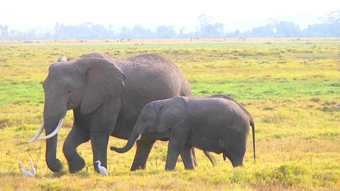 Baby Elephant And Mother Eating Grass Stock Video Footage