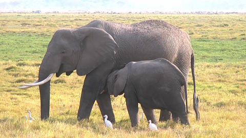 Elephant Calf And Mother Footage