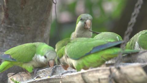 084 Pantanal , dwarf parrots eating , close up Stock Video Footage