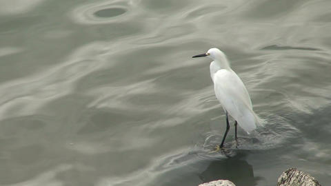 057 Florianopolis , Big white bird at sea side Footage
