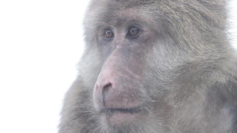 Monkey HD stock footage