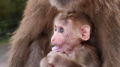 baby monkey HD Stock Video Footage