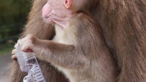 Baby Monkey HD stock footage