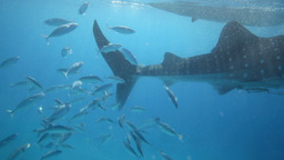Whale Shark Tail And Reef Fish Following stock footage