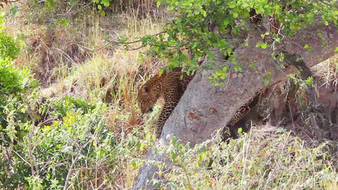 Leopard on a tree. Masai Mara National Reserve, Ke Footage