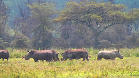 Group Of Rhino In African Safari Park stock footage