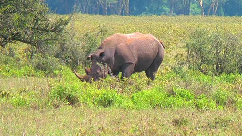 Black Rhino Walking Stock Video Footage