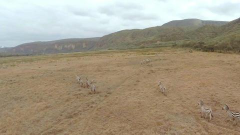 Aerial shot. Zebras Footage