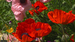 HD2008-6-9-40 poppies Stock Video Footage