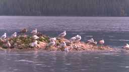 HD2008-10-1-71 lakeshore seagulls Stock Video Footage