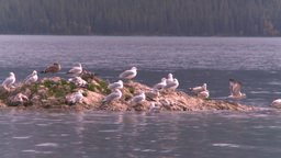 HD2008-10-1-71 lakeshore seagulls Footage