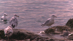 HD2008-10-1-77 lakeshore seagulls Stock Video Footage